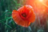 wild poppy flower at sunset