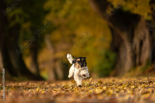 Leinwandbild Motiv Jack Russell Terrier. Young cute dog is running fast through a tree avenue in the woods