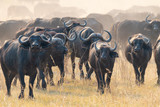 eine Herde afrikanische Büffel, Syncerus cafferi,am Kwando River, Region Sambesi, Namibia © Manok