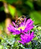 Eupeodes corollae pollinating the flower