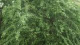 A heavy rain against green trees background - 231956443