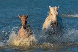 Horse and foal running in the water in swamps  - 231963249