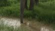 African Elephant (Loxodonta africana)  bull drinking from a small pool, tilt up shot, Amboseli N.P. Kenya.