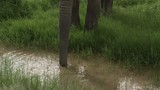 African Elephant (Loxodonta africana)  bull drinking from a small pool, tilt up shot, Amboseli N.P. Kenya. - 231964854