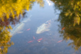 Exotic fish in a Japanese garden in the Budapest zoo - 231964895