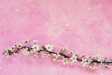 White cherry spring flowers on the grunge pink cement background with copyspace. Seasonal and greeting concept.