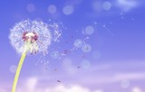 Dandelion with blowing petals on blue background - 231969065