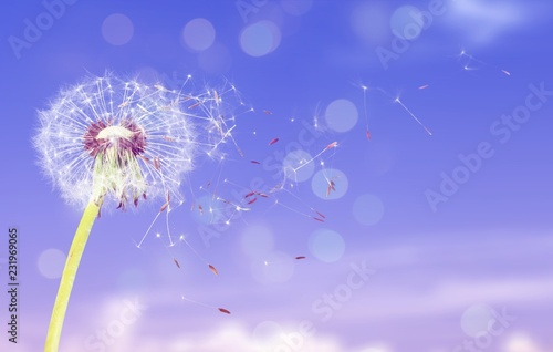 Foto Murales Dandelion with blowing petals on blue background
