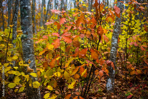 An autumn forest landscape. Close-up view of beech trees, green and golden leaves, Germany © Aleksey Stemmer