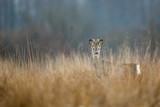 Roebuck - buck (Capreolus capreolus) Roe deer - goat - 231990490