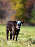 Black Angus caow and calf in a pasture in late autumn