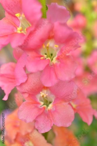 ピンク色の金魚草.