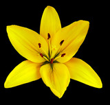 Yellow  flower  lily on a black isolated background with clipping path  no shadows. Closeup.  Nature.