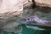 """Постер, картина, фотообои """"Kopf eines Seelöwen im Wasser vor einer Felswand"""""""