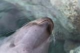 Seehundkopf ragt rückwärts aus dem Wasser - 232033288