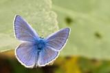 Polyommatus icarus Photo Czech Republic