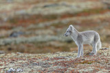 Arctic fox living in the arctic part of Norway, seen in autumn setting. - 232060266