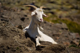 Goat in the Pyrenees - 232064216