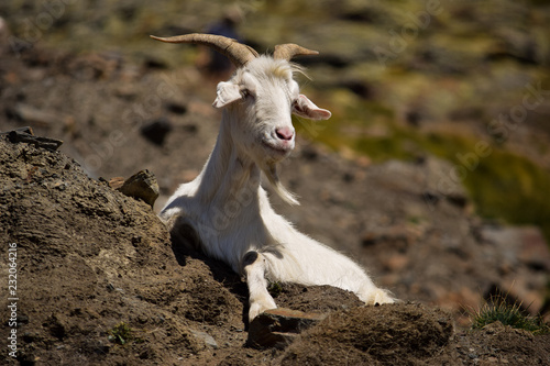 Goat in the Pyrenees