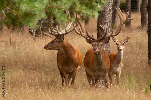 Fridge magnet Red Deer,  Cervus elaphus