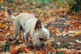 Hund Chihuahua im Herbst im Laub bei Sonnenschein