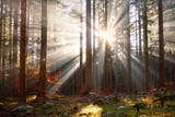 Magic morning sun rays through trees in the forest landscape. - 232088277