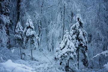 Beautiful snowy winter forest landscape. Blue color tone used. © robsonphoto
