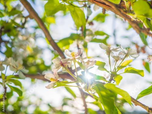 Foto Murales Apfelblüte im Sonnenlicht