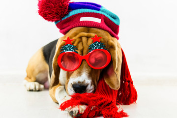 cute and funny beagle dog in hat and glasses on the floor