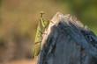 Mantis religiosa. Religious mantis on wood. Sunny day. - 232099498
