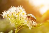 May green beetle, bronze green, (Cetonia)