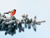 new year postcard bird bullfinch on a branch of a festive spruce with shiny hoarfrost sits in a beautiful winter park - 232118272