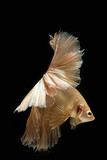 Capture of beautiful golden fighting fish , Betta movement on a black background - 232121081