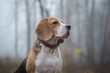 dog Beagle in thick fog while walking in autumn Park