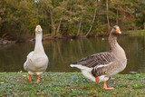 Geese in the park - 232130455
