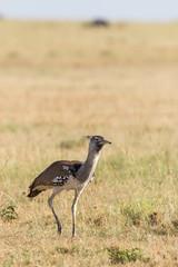 Kori bustard bird on the savannah in Africa
