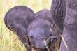 Leinwanddruck Bild - Playful Elephant calf that wags the ears