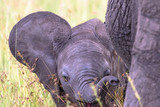 Playful Elephant calf that wags the ears