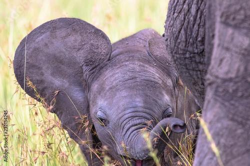 Leinwanddruck Bild Playful Elephant calf that wags the ears
