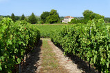 Bordeaux Vineyards in summer with blue sky - 232135401