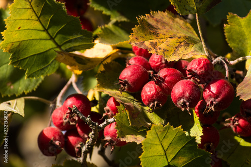 Foto Murales Berries on a branch on a sunny day
