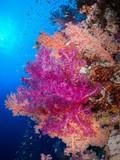 Leuchtend bunte Korallen an einem Korallenriff im Roten Meer, Ägypten