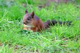 Junges Eichhörnchen bei der Futtersuche - 232146612