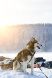 Siberian Husky dog black and white colour in winter sitting in the snow