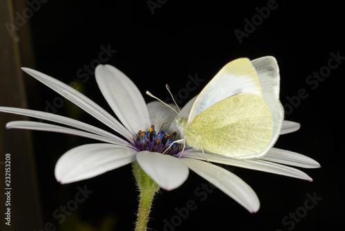 Farfalla - 232153208