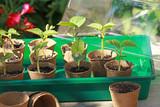 Semis de haricots dans des pots en tourbe - 232153803