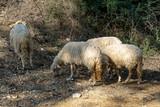 pecore al pascolo - 232157051
