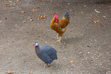 Rooster and pheasant walk around the yard - 232159281