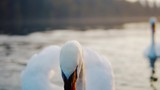 Slow Motion Close-Up Swan Face - 232170464