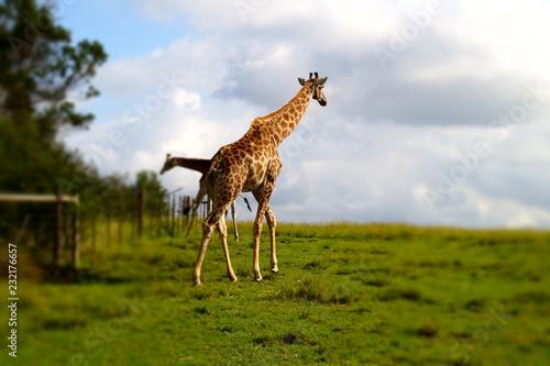 Wall mural Giraffe